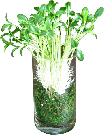 Send Green Grass In A Round Glass Vase To All Over India